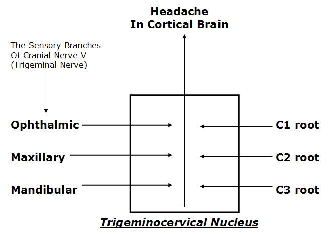 trigeminal Nerve diagram.jpg